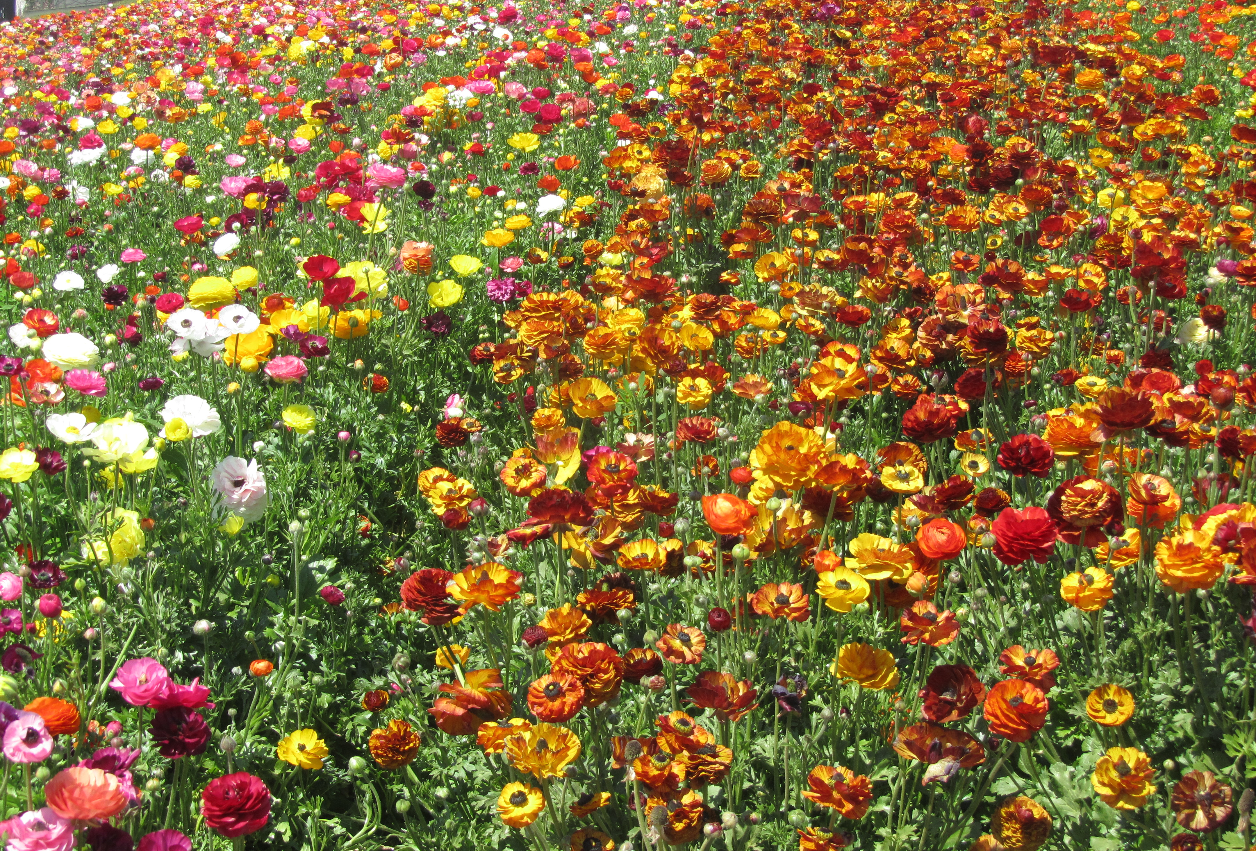 Visit The Flower Fields In Carlsbad California March 1 May 12