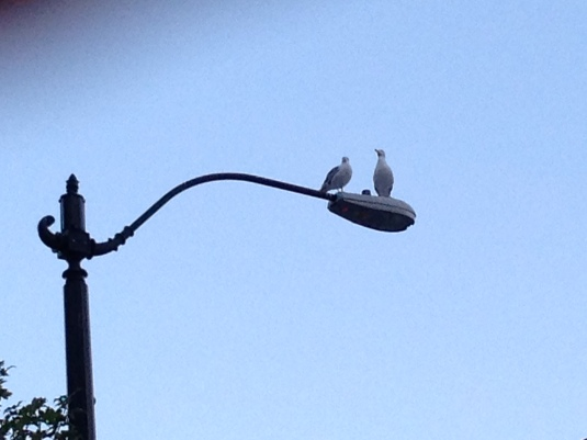 We  listened to the Mating calls of the Herring Gulls