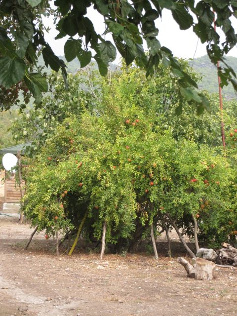 Loaded pomegranate tree for Barbara.