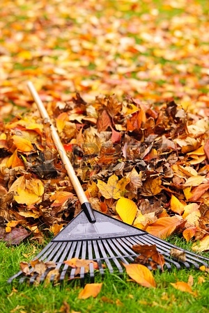 16419295-pile-of-fall-leaves-with-fan-rake-on-lawn