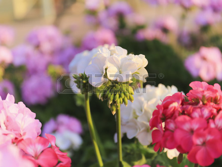 25907324-geranium-flowers-in-the-garden
