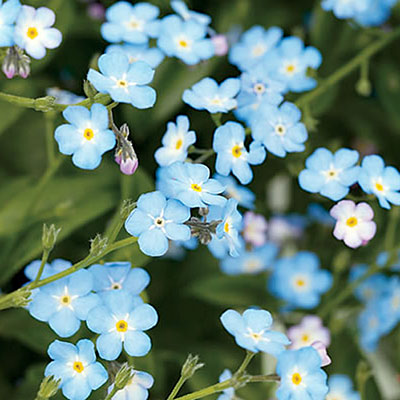 forget-me-not-l