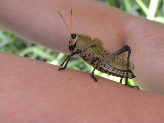 huge-grasshopper-in-palo